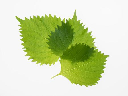 potherb: Potherb japon�s perilla verde Shiso