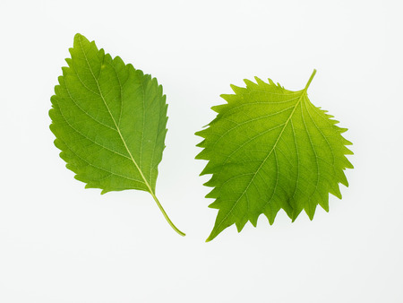Japanese potherb Green Perilla Shiso Stock Photo