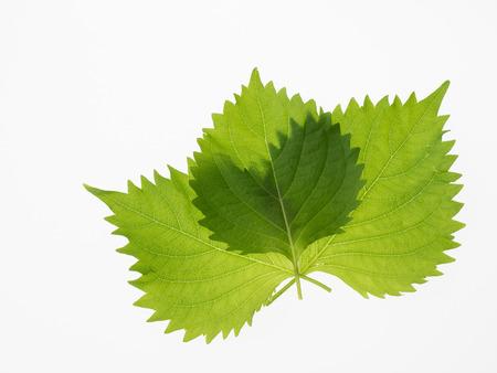 potherb: Japanese potherb Green Perilla Shiso Stock Photo