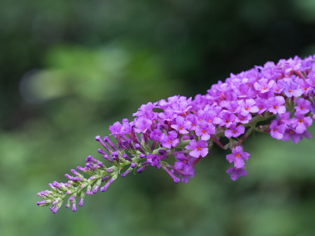 Beautiful light purple Buddleja japonica in forest of the early fall