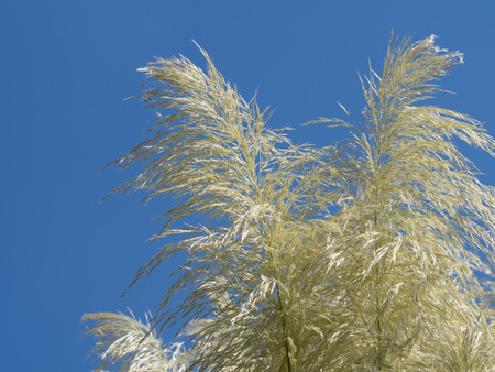 Silver gray pampas grass of the blue sky Stock Photo