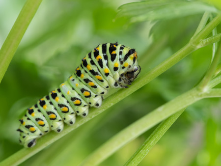 larvae: 4 age larvae of the papilio machaon