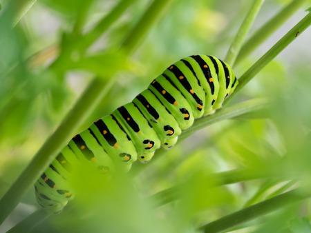 5 age larvae of the papilio machaon photo