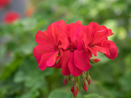 Beautiful bright red geranium 版權商用圖片