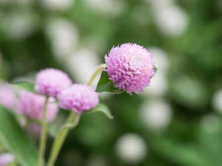 globosa: Pink Gomphrena globosa of a white flower background