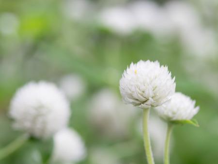 globosa: White gomphrena globosa in the summer flower bed