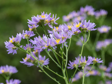 Light purple Aster in the autumn field of Japan Stock Photo