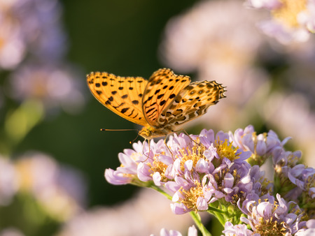Aster and fritillary photo