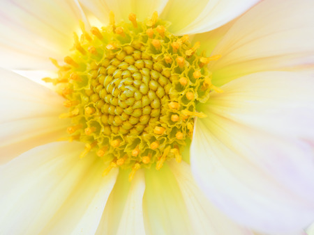 Center of the beautiful dahlia photo