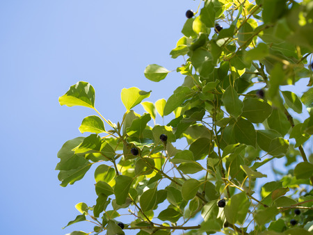 cinnamomum: Fruit and leaves of Kusu on the blue sky background Stock Photo