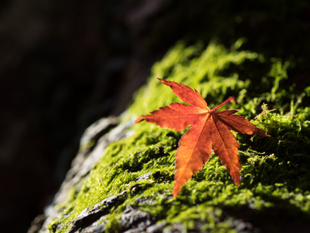 The Japanese maple which fell on moss photo