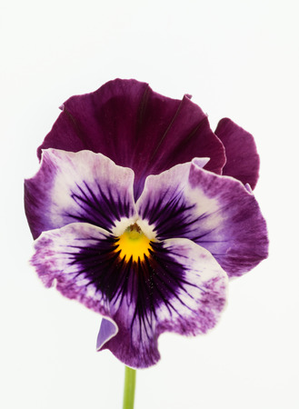 Beautiful purple pansy of the white background