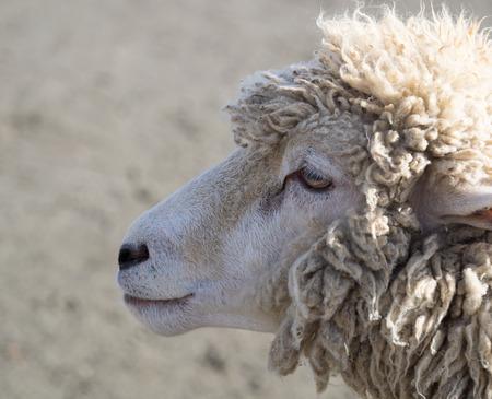 sheep eye: Calm pretty sheep