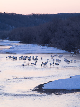 roost: Japanese crane roost in the winter early-morning