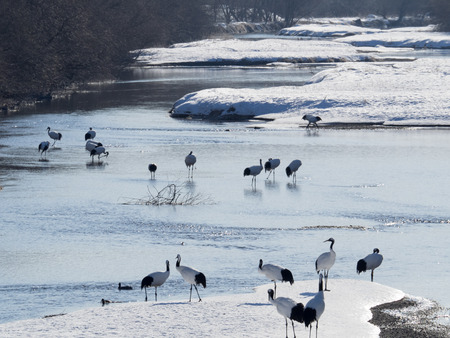 Japanese crane awakened in the river of winter early-morning photo
