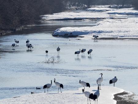 obudził: Japanese crane awakened in the river of winter early-morning