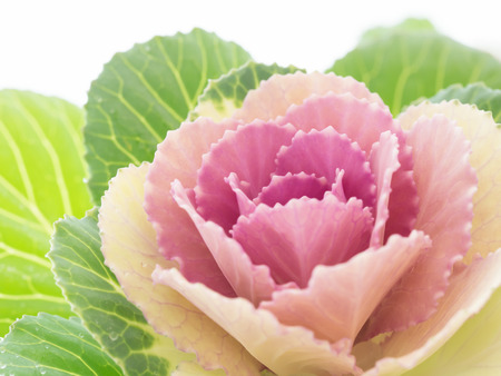 Winter beautiful ornamental cabbage photo