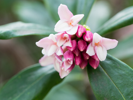 daphne: Flower and bud of the sweet-smelling daphne of the early spring Stock Photo