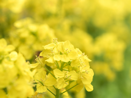 Yellow rapes in full bloom Stock Photo