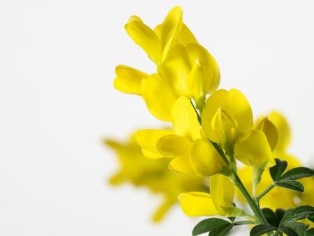 leguminosae: Yellow genista In the white background