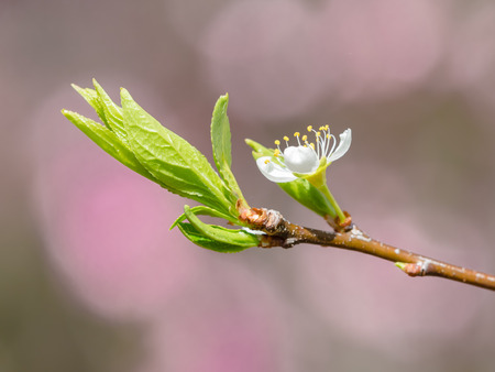 young leave: Flower and young leave of the plum Stock Photo