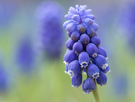 Grape hyacinth in the spring flower bed photo