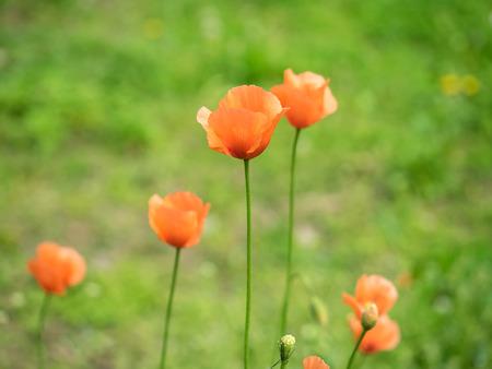 dubium: Papaver dubium in the spring field Stock Photo