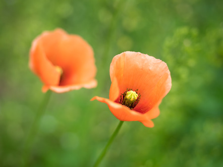 Papaver dubium in the spring field Stock Photo