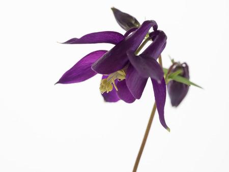 Schöne Lila Columbine-Blumen In Den Weißen Hintergrund Lizenzfreie ...