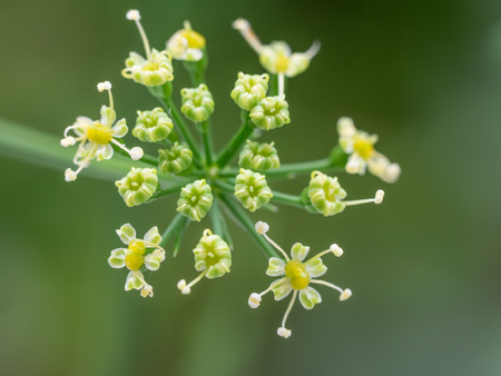 macrophotography: Macrophotography of the flower of the Italian parsley Stock Photo