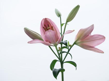 elegans: Beautiful pink Lilium elegans Stock Photo