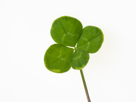 dutch clover: Four leaf clover on the white background