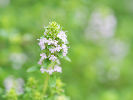 Sweet fragrance herb Wild thyme