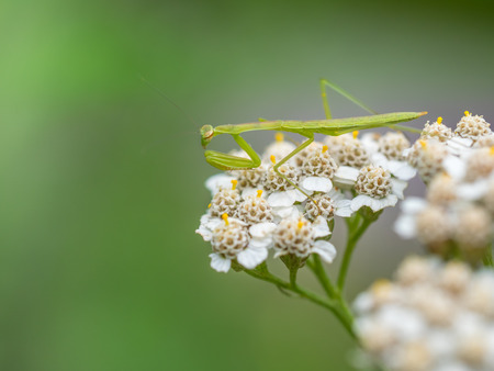 mantodea: Yarrow and mantis in early summer