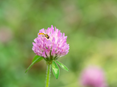 red clover: Drone fly and Red clover