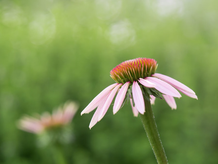 echinacea: Echinacea purpurea in early summer Stock Photo