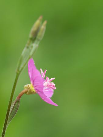 macrophotography: Very small field flowerRose evening primrose Stock Photo