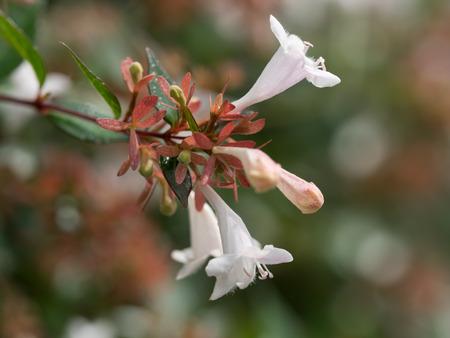 emit: Summer of street trees flower  Abelia