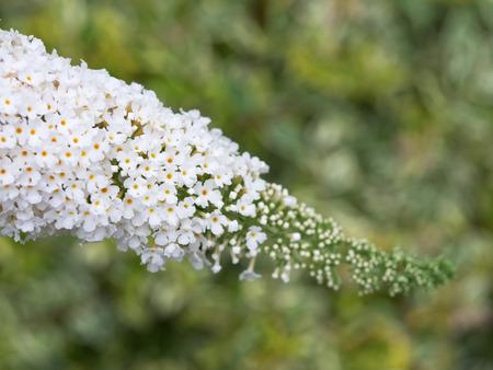 emit: Summer flower tree  Buddleja Stock Photo