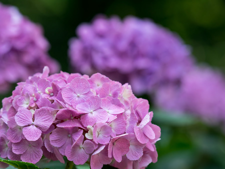 early summer: Hydrangea of the forest of the early summer Stock Photo