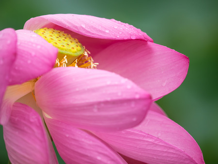 receptacle: Petal and receptacle of the wet lotus Stock Photo