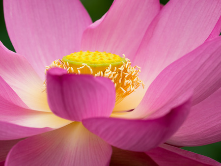 receptacle: Petal and receptacle of the pink lotus