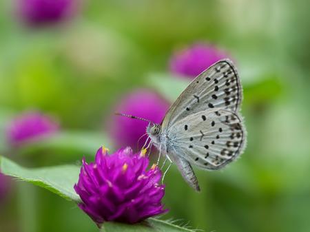 globosa: Gomphrena globosa and butterfly