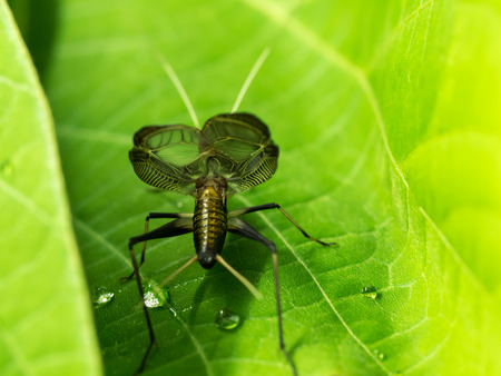 trembling: Bell cricket that singing with trembling wings on the green leaves Stock Photo