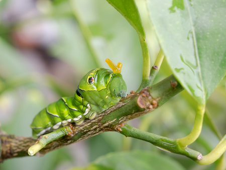 Caterpillar to intimidate an orange horn,