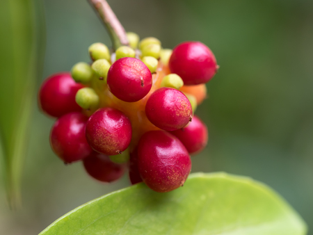 japonica: Bright red fruit of the  Kadsura japonica Stock Photo