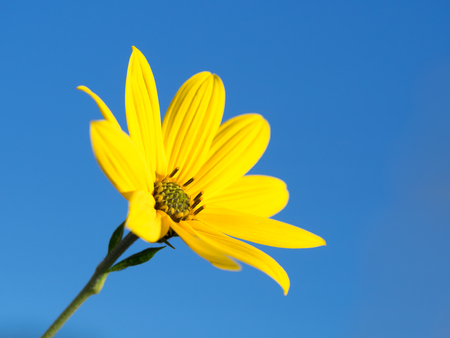 jerusalem artichoke: Jerusalem artichoke of the blue sky background