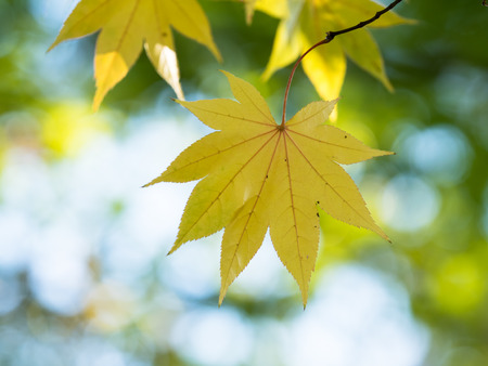 acer palmatum: Acer palmatum var. amoenum which turned yellow in autumn in Japan Stock Photo