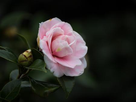 japonica: Camellia japonica Daikagura Stock Photo
