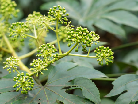 Flower of the araliad blooming in the garden of the late fall in Japan Stock Photo